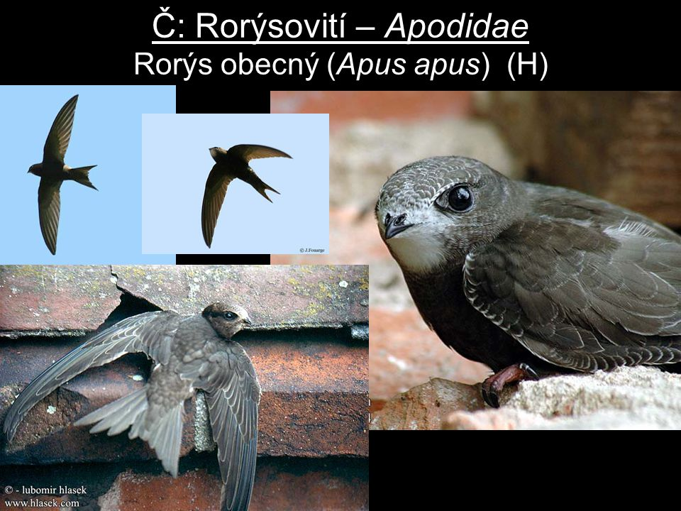 Č: Rorýsovití – Apodidae Rorýs obecný (Apus apus) (H)