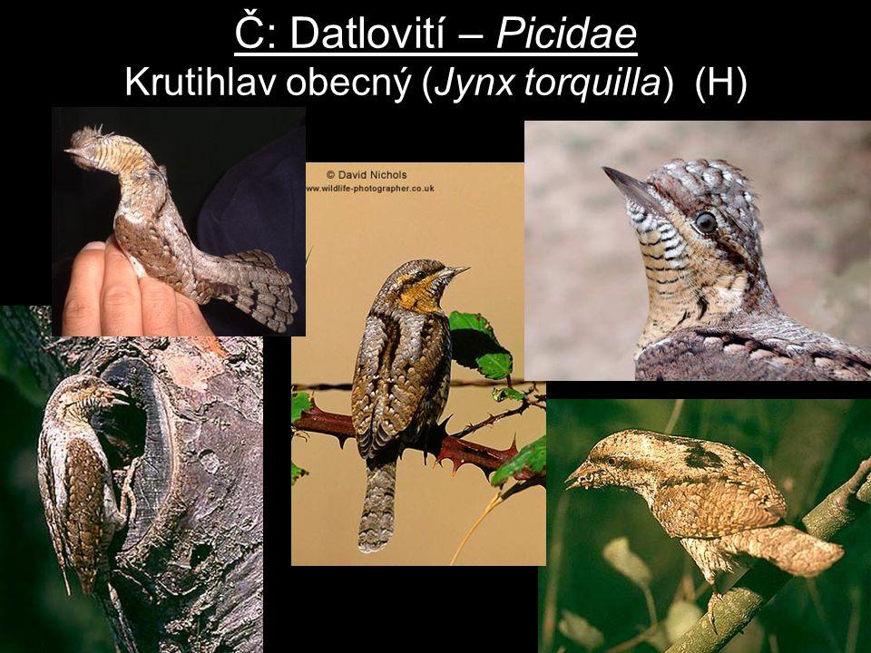 Č: Datlovití – Picidae Krutihlav obecný (Jynx torquilla) (H)
