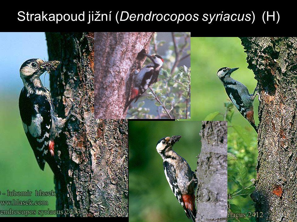 Strakapoud jižní (Dendrocopos syriacus) (H)