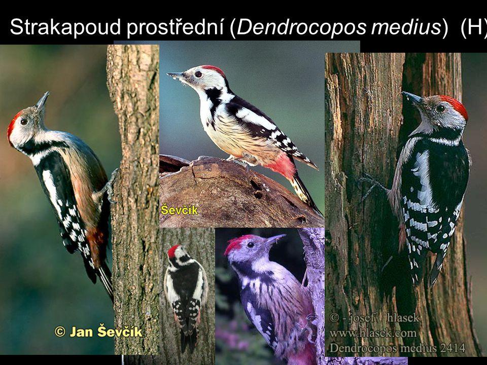 Strakapoud prostřední (Dendrocopos medius) (H)