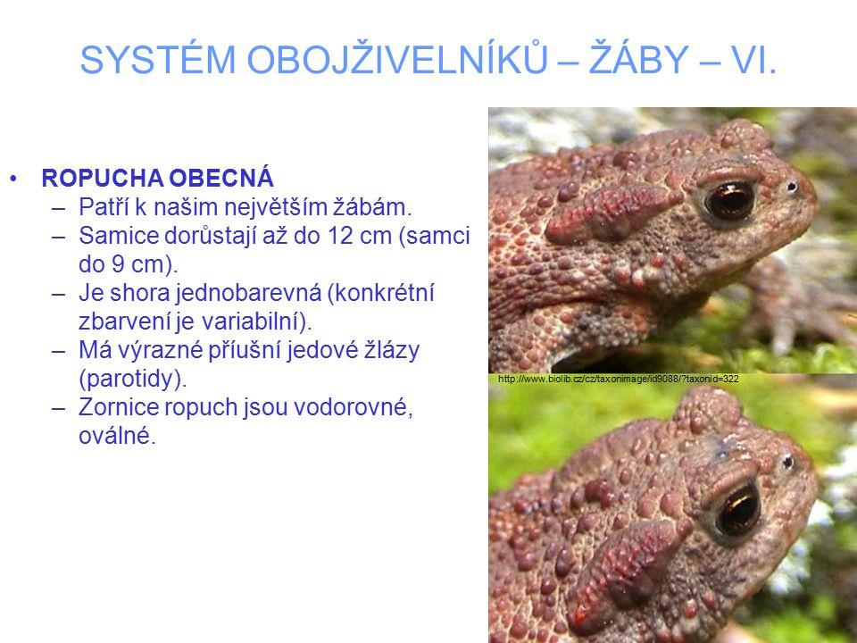 SYSTÉM OBOJŽIVELNÍKŮ – ŽÁBY – VI. ROPUCHA OBECNÁ –Patří k našim největším žábám.