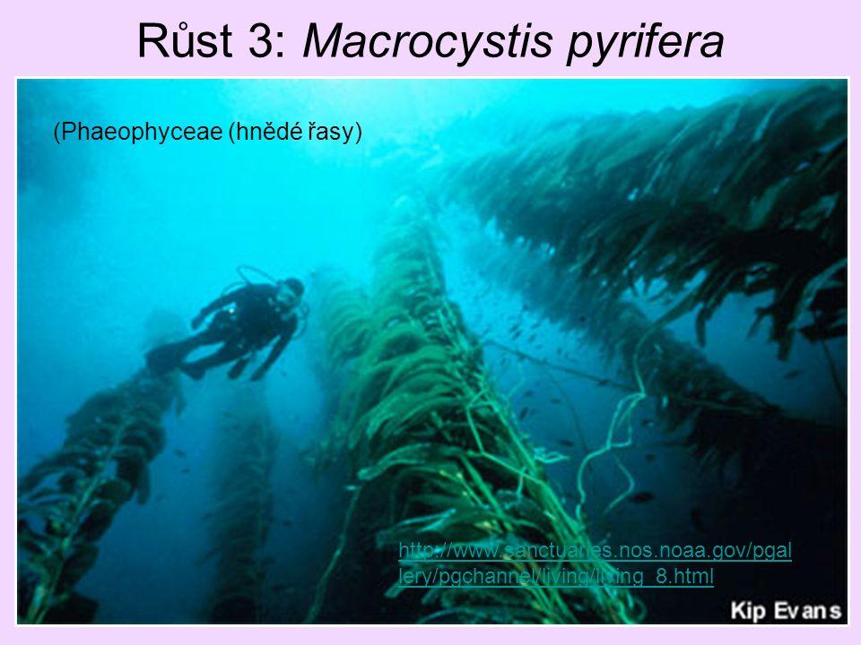 Růst 3: Macrocystis pyrifera http://www.sanctuaries.nos.noaa.gov/pgal lery/pgchannel/living/living_8.html (Phaeophyceae (hnědé řasy)
