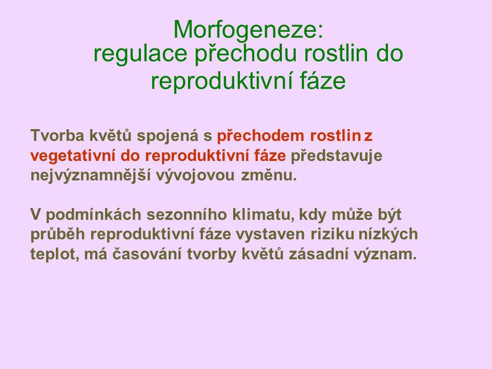 Morfogeneze: regulace přechodu rostlin do reproduktivní fáze Tvorba květů spojená s přechodem rostlin z vegetativní do reproduktivní fáze představuje