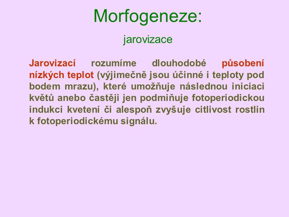 Morfogeneze: jarovizace Jarovizací rozumíme dlouhodobé působení nízkých teplot (výjimečně jsou účinné i teploty pod bodem mrazu), které umožňuje násle