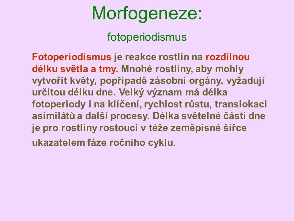 Morfogeneze: fotoperiodismus Fotoperiodismus je reakce rostlin na rozdílnou délku světla a tmy. Mnohé rostliny, aby mohly vytvořit květy, popřípadě zá