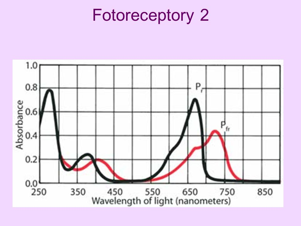 Fotoreceptory 2