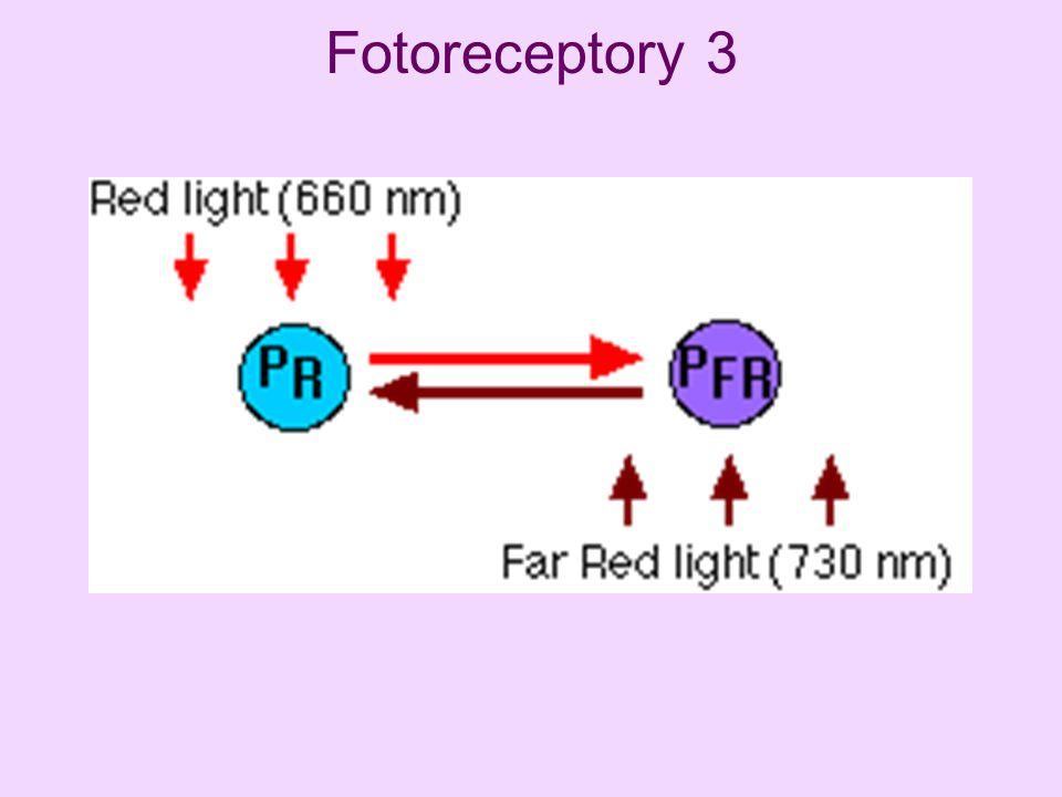 Fotoreceptory 3