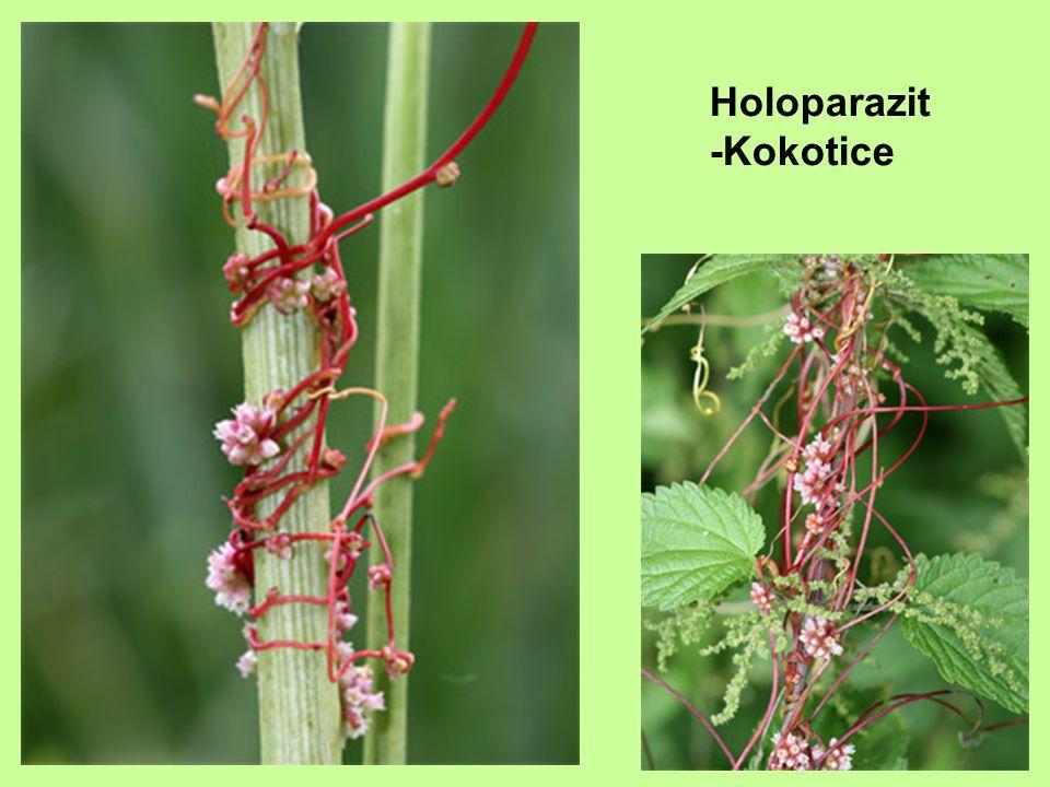 Holoparazit-Podbílek šupinatý