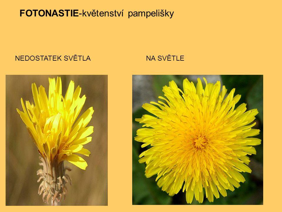 FOTONASTIE-květenství pampelišky NEDOSTATEK SVĚTLANA SVĚTLE