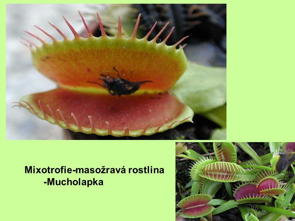 Mixotrofie-masožravá rostlina -Mucholapka