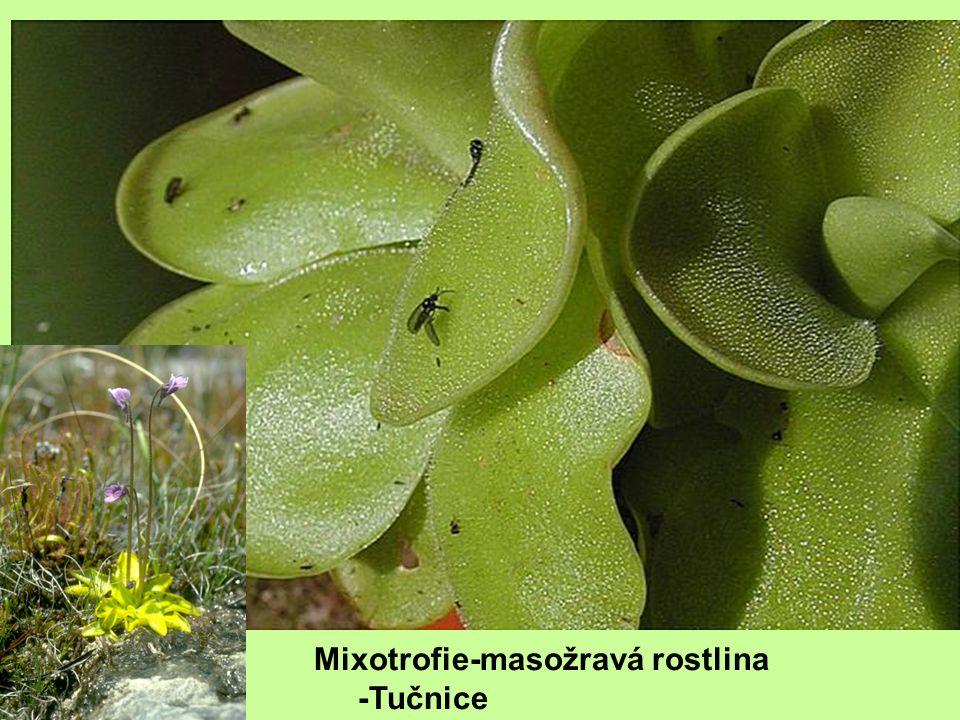 Mixotrofie-masožravá rostlina -Tučnice