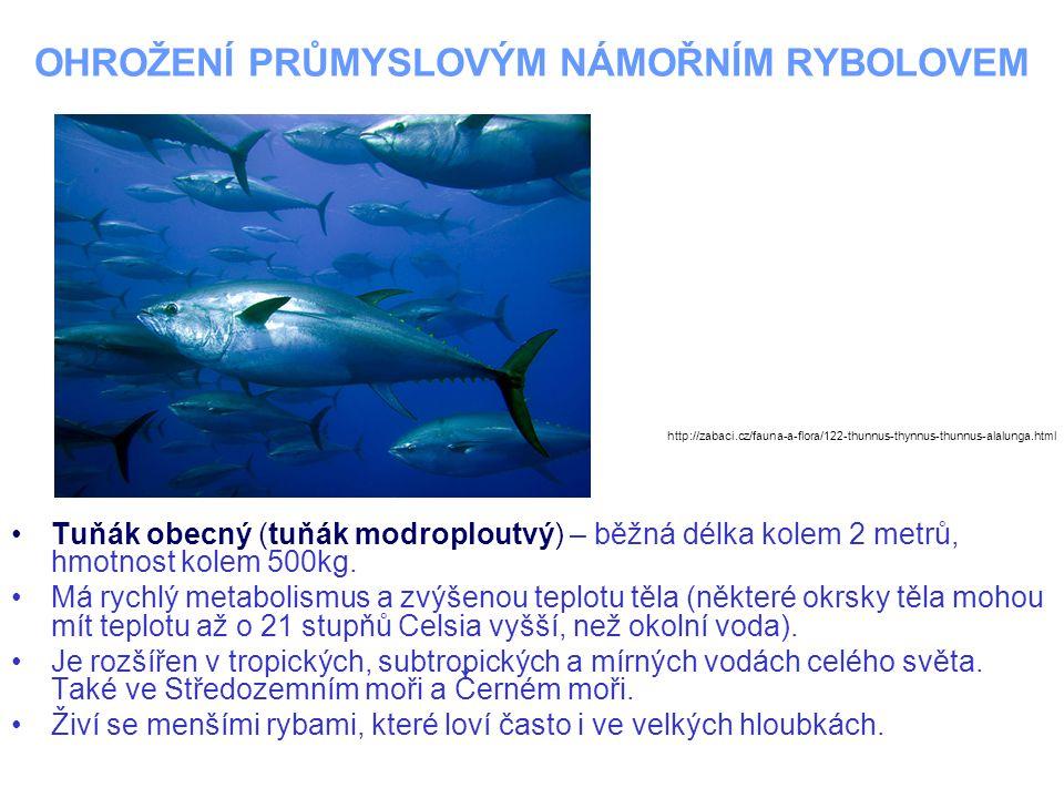 OHROŽENÍ PRŮMYSLOVÝM NÁMOŘNÍM RYBOLOVEM Tuňák obecný (tuňák modroploutvý) – běžná délka kolem 2 metrů, hmotnost kolem 500kg.