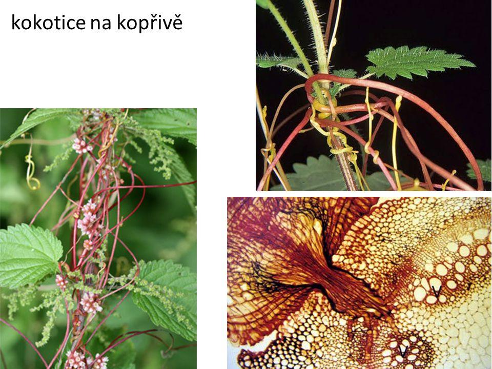 Adventivní kořeny – lepší …………………………… (kukuřice, fíkovník) upevnění v podkladu