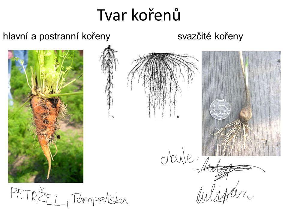 Přeměny kořene Kořenové hlízy a bulvy – ukládání zásobních látek