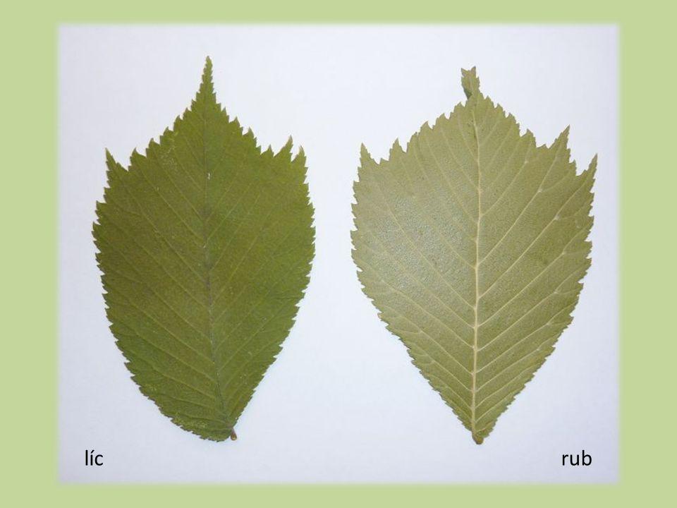 Plody  2–2,5 cm dl. eliptické až obvejčité  lysé, krátce stopkaté, křídl.