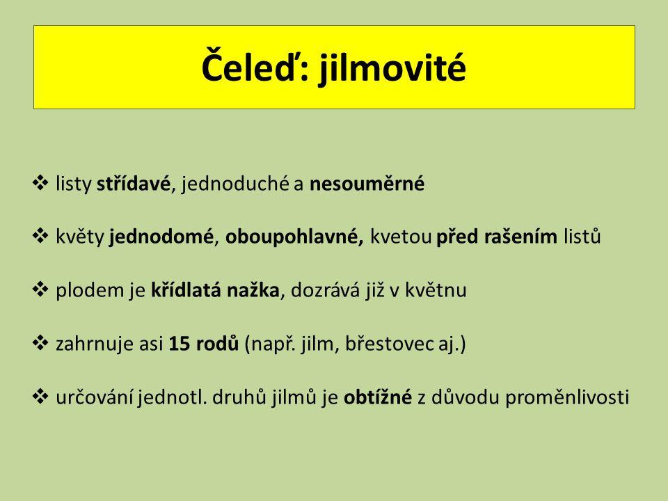 JILM HABROLISTÝ (LADNÍ) ULMUS MINOR (CARPINIFOLIA) Čeleď: jilmovité