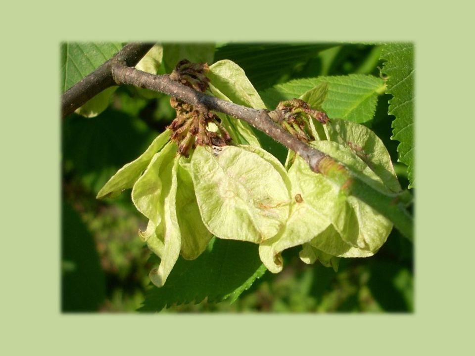 Semenáčky  dělohy drobné, obvejčité, líc zelený, rub bělavý  prvotní listy souměrné, hrubě zubaté, vstřícné