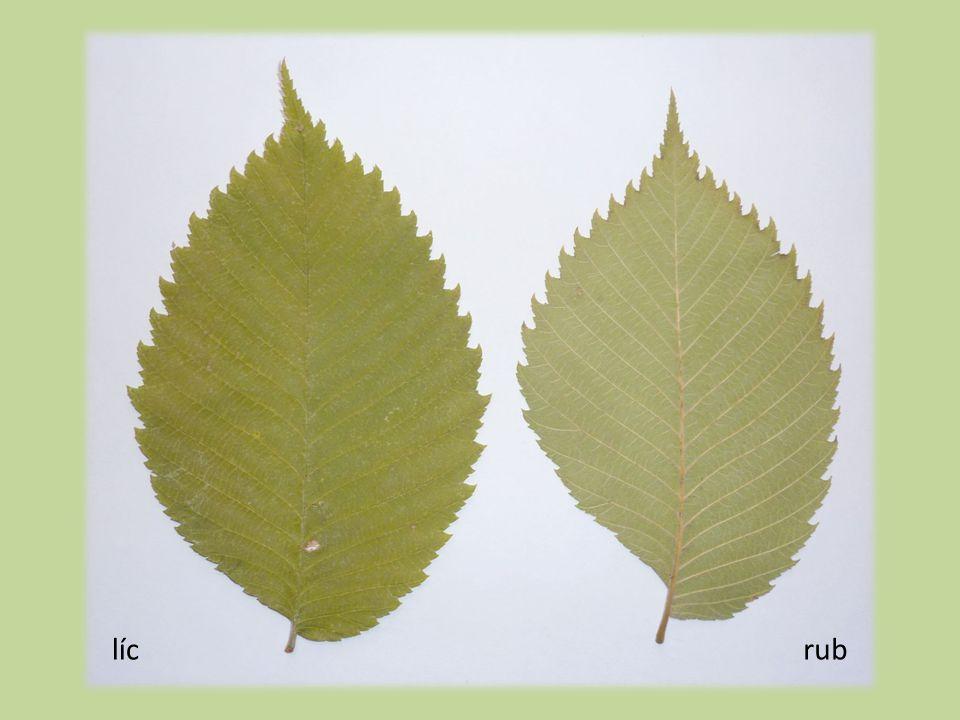 Plody  1–1,5 cm dl.