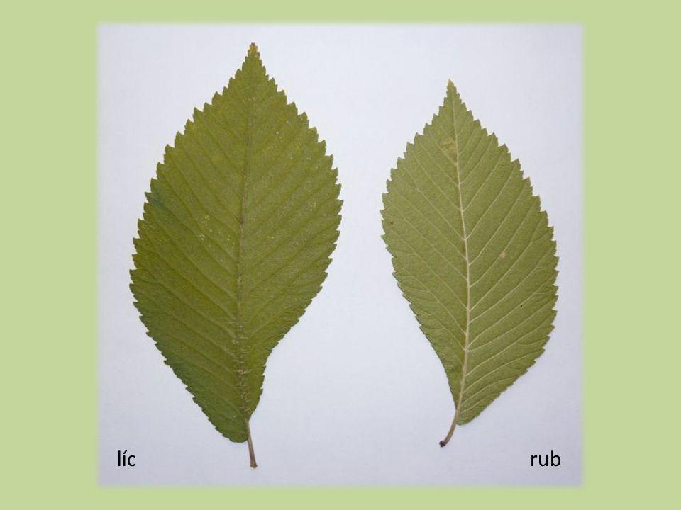 Plody  1–2 cm dl.