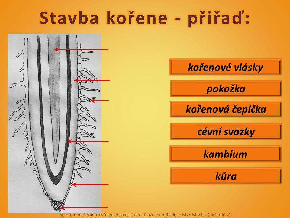 kůra pokožka kořenové vlásky kořenová čepička cévní svazky kambium Autorem materiálu a všech jeho částí, není-li uvedeno jinak, je Mgr. Monika Chudárk