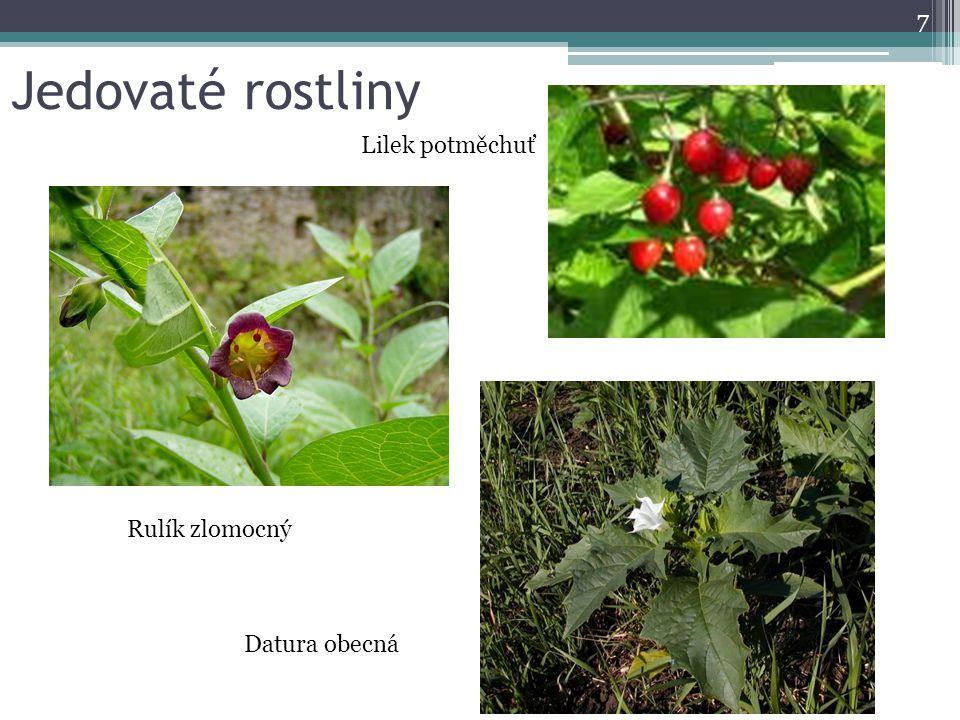 Jedovaté rostliny 7 Lilek potměchuť Datura obecná Rulík zlomocný