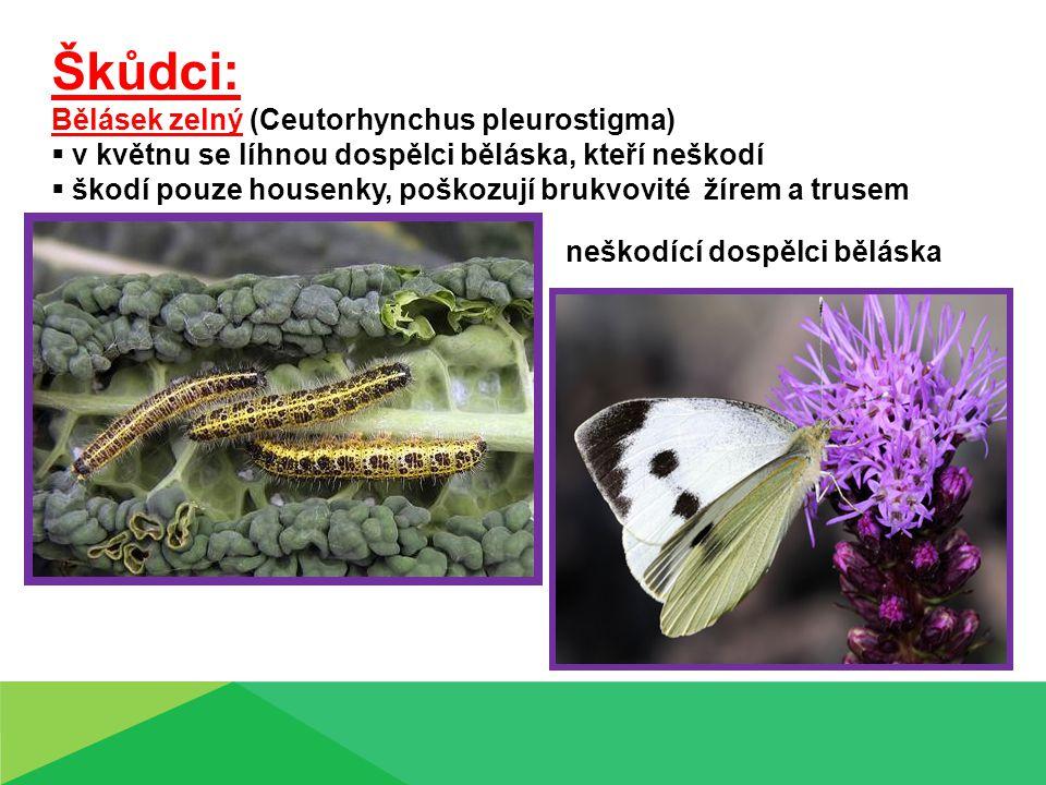 Škůdci: Bělásek zelný (Ceutorhynchus pleurostigma)  v květnu se líhnou dospělci běláska, kteří neškodí  škodí pouze housenky, poškozují brukvovité ž