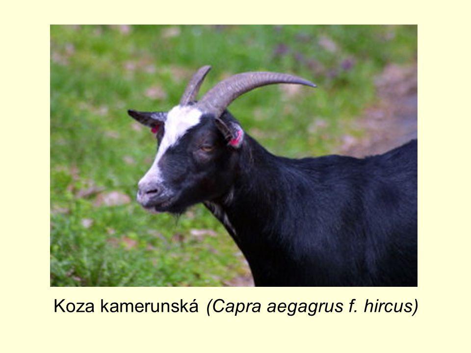 Koza kamerunská (Capra aegagrus f. hircus)