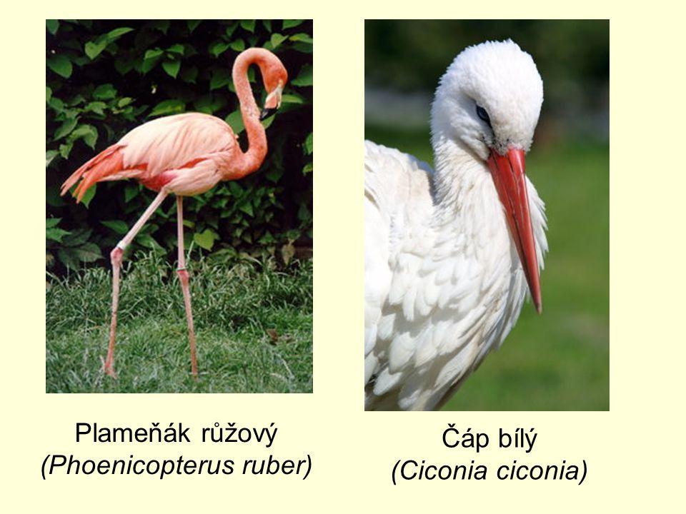 Plameňák růžový (Phoenicopterus ruber) Čáp bílý (Ciconia ciconia)