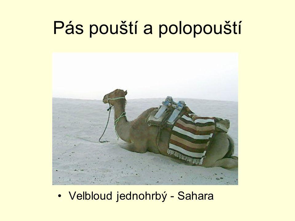 Pás pouští a polopouští Velbloud jednohrbý - Sahara
