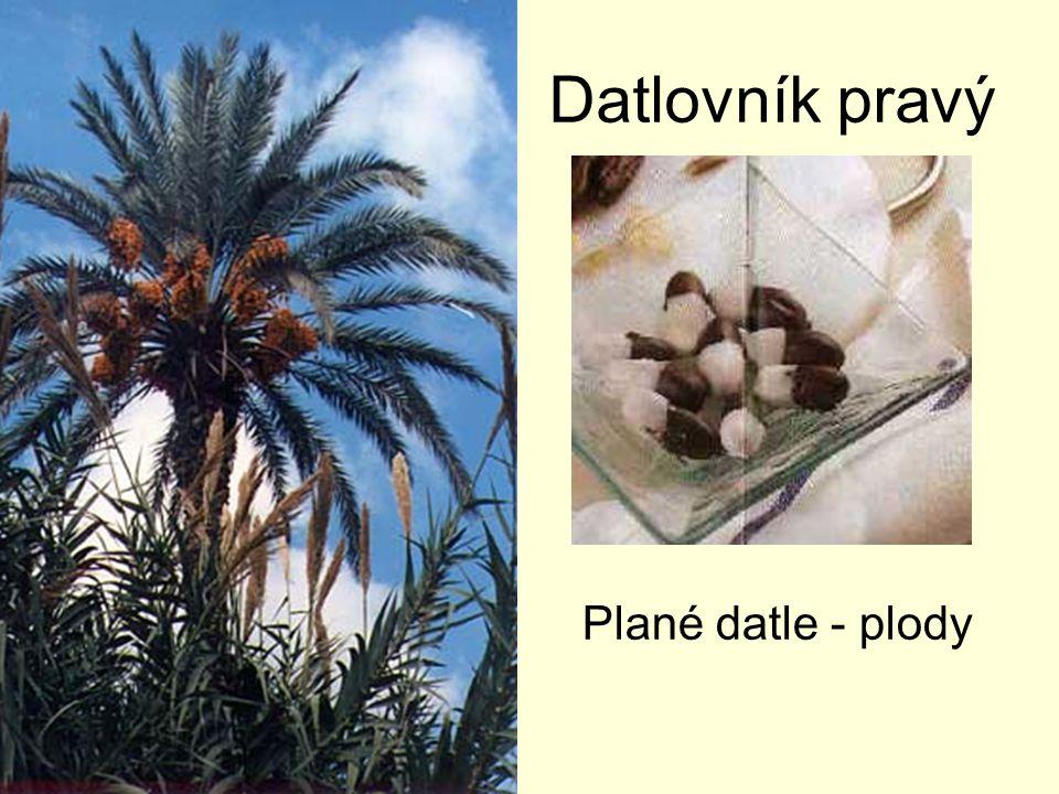 Flóra pouští a polopouští Oázy –palma datlová –fíkovník –citrusy Severní pobřeží –pšenice –rýže (na závlahách) –bavlníksrstnatý