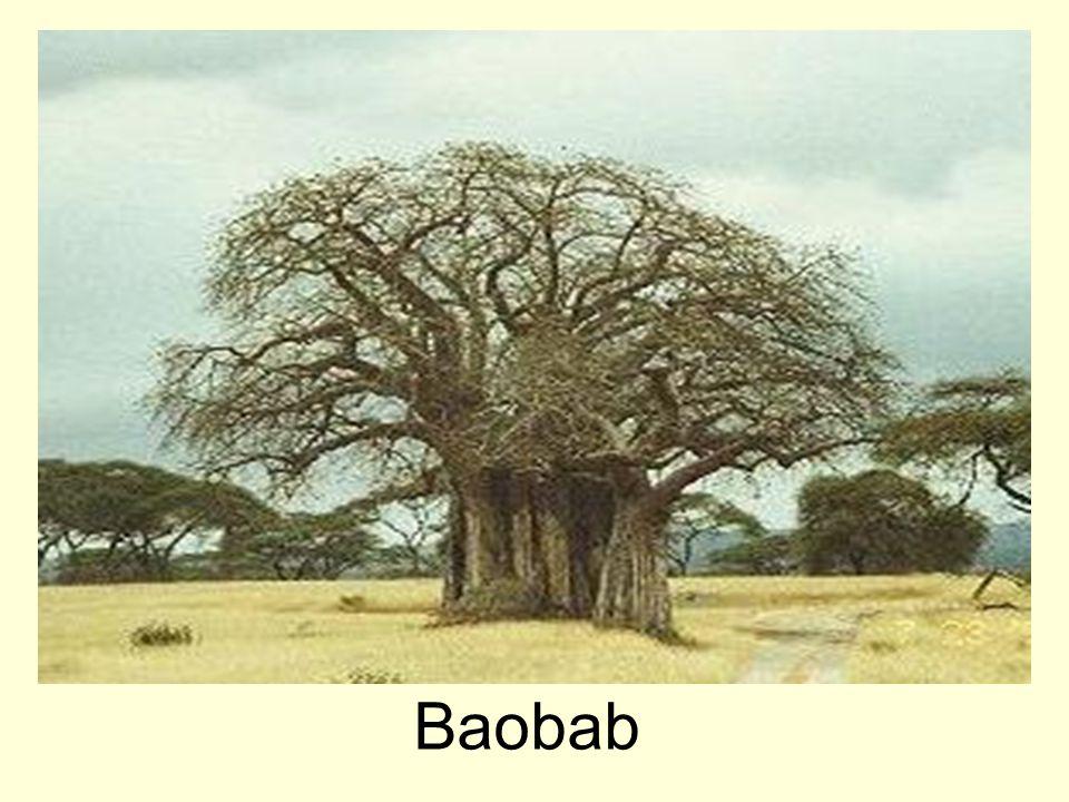 Baobab prstnatý (Madagaskar)