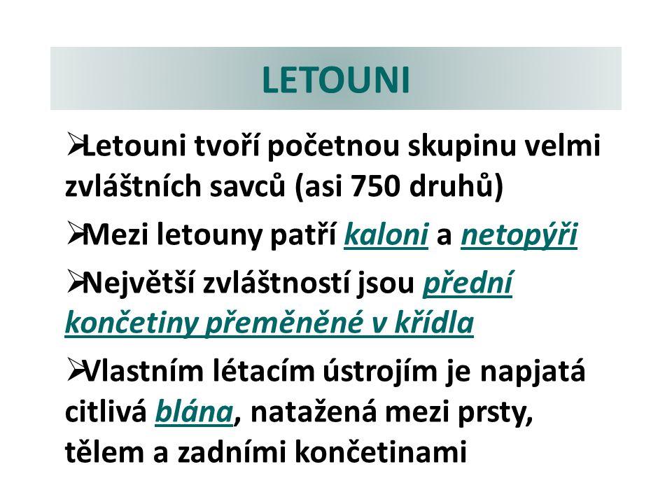 LETOUNI ZÁSTUPCI: a)Kaloň jedlý (malajský)  Velikost až 40 cm.