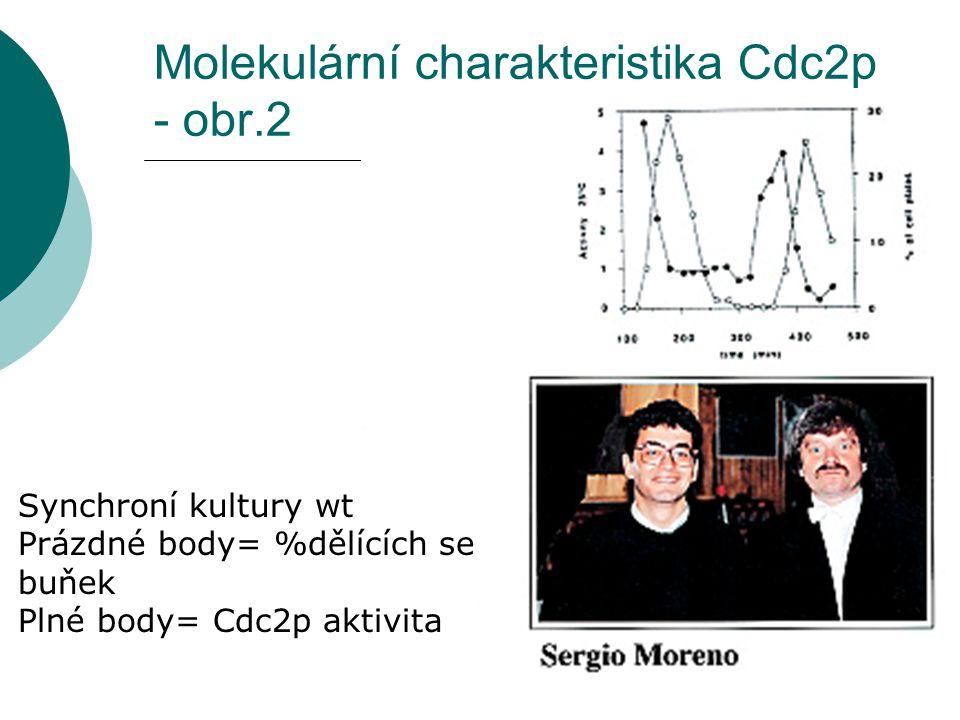Molekulární charakteristika Cdc2p - obr.2 Synchroní kultury wt Prázdné body= %dělících se buňek Plné body= Cdc2p aktivita