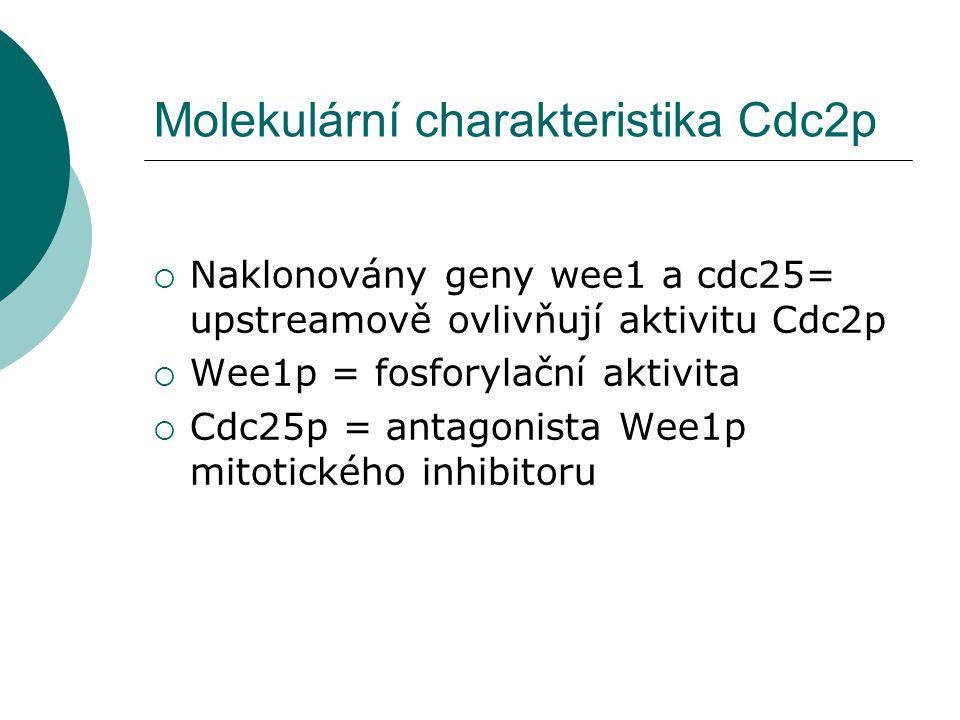 Molekulární charakteristika Cdc2p  Naklonovány geny wee1 a cdc25= upstreamově ovlivňují aktivitu Cdc2p  Wee1p = fosforylační aktivita  Cdc25p = antagonista Wee1p mitotického inhibitoru