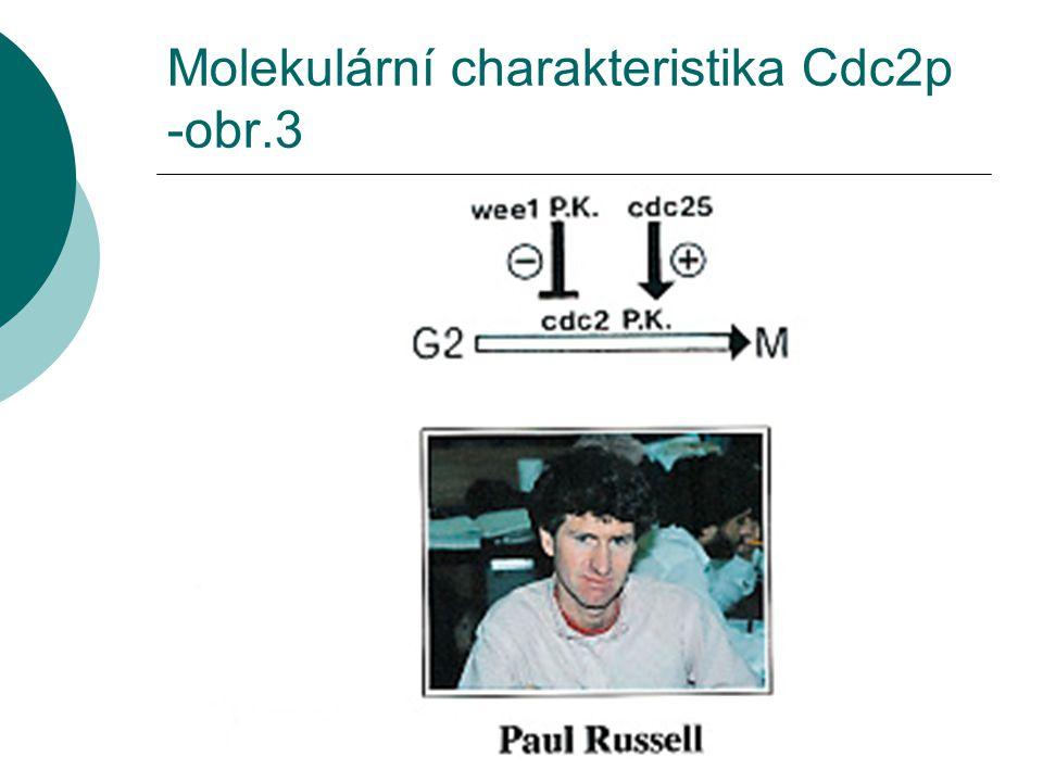 Molekulární charakteristika Cdc2p -obr.3