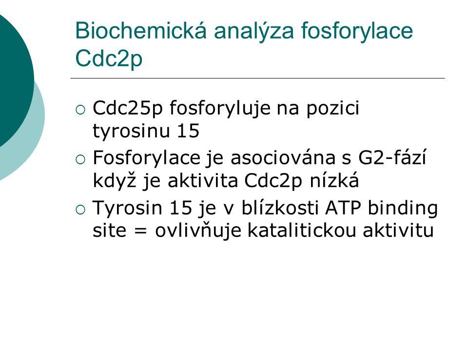Biochemická analýza fosforylace Cdc2p  Cdc25p fosforyluje na pozici tyrosinu 15  Fosforylace je asociována s G2-fází když je aktivita Cdc2p nízká  Tyrosin 15 je v blízkosti ATP binding site = ovlivňuje katalitickou aktivitu