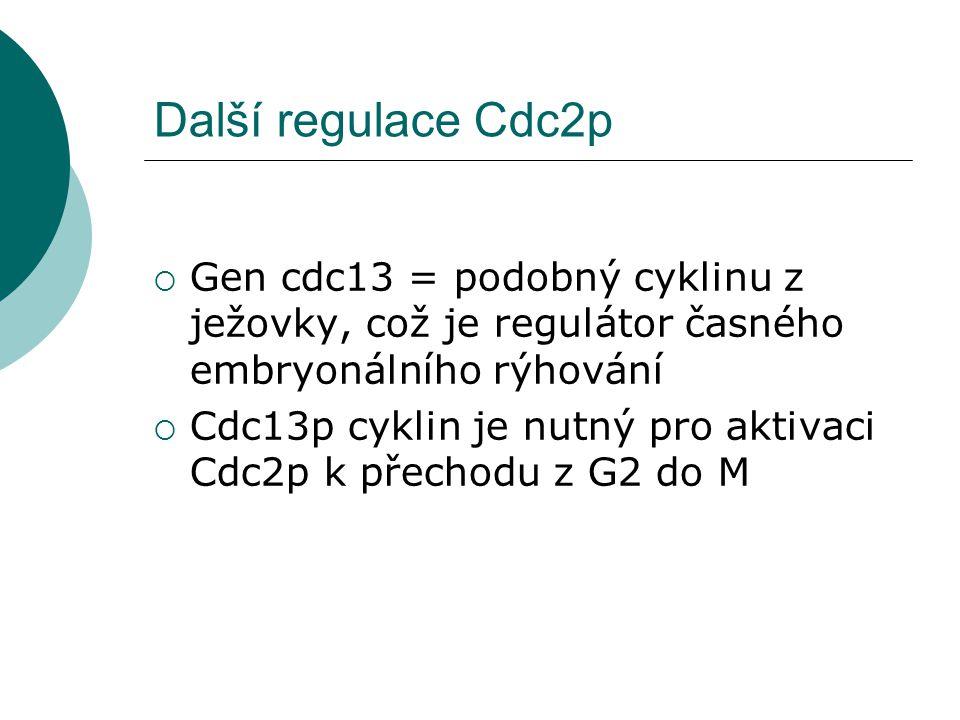 Další regulace Cdc2p  Gen cdc13 = podobný cyklinu z ježovky, což je regulátor časného embryonálního rýhování  Cdc13p cyklin je nutný pro aktivaci Cdc2p k přechodu z G2 do M