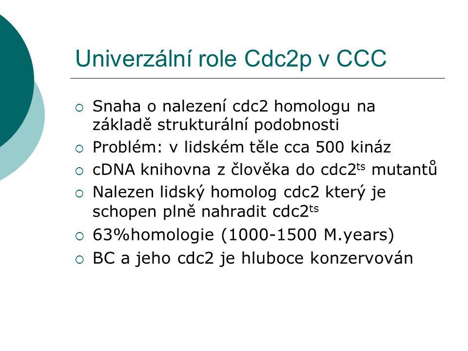 Univerzální role Cdc2p v CCC  Snaha o nalezení cdc2 homologu na základě strukturální podobnosti  Problém: v lidském těle cca 500 kináz  cDNA knihovna z člověka do cdc2 ts mutantů  Nalezen lidský homolog cdc2 který je schopen plně nahradit cdc2 ts  63%homologie (1000-1500 M.years)  BC a jeho cdc2 je hluboce konzervován