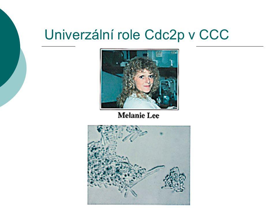 Univerzální role Cdc2p v CCC