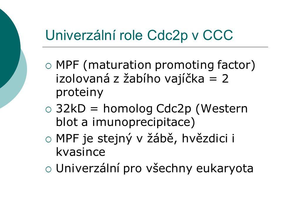  MPF (maturation promoting factor) izolovaná z žabího vajíčka = 2 proteiny  32kD = homolog Cdc2p (Western blot a imunoprecipitace)  MPF je stejný v žábě, hvězdici i kvasince  Univerzální pro všechny eukaryota