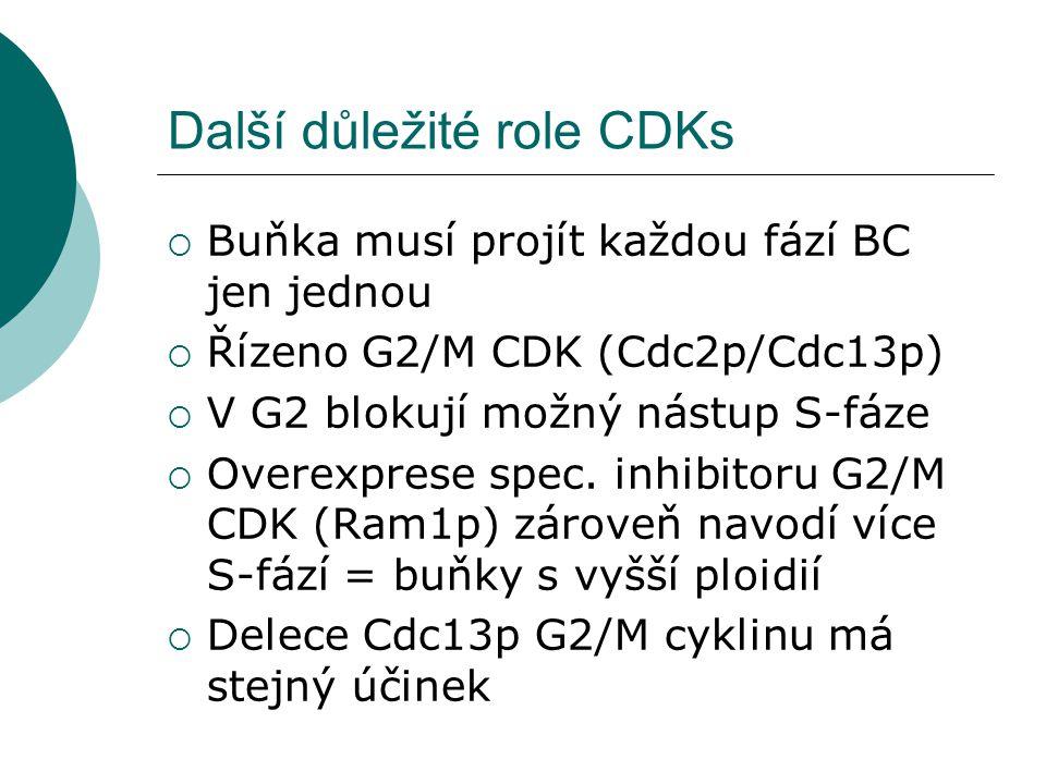 Další důležité role CDKs  Buňka musí projít každou fází BC jen jednou  Řízeno G2/M CDK (Cdc2p/Cdc13p)  V G2 blokují možný nástup S-fáze  Overexprese spec.