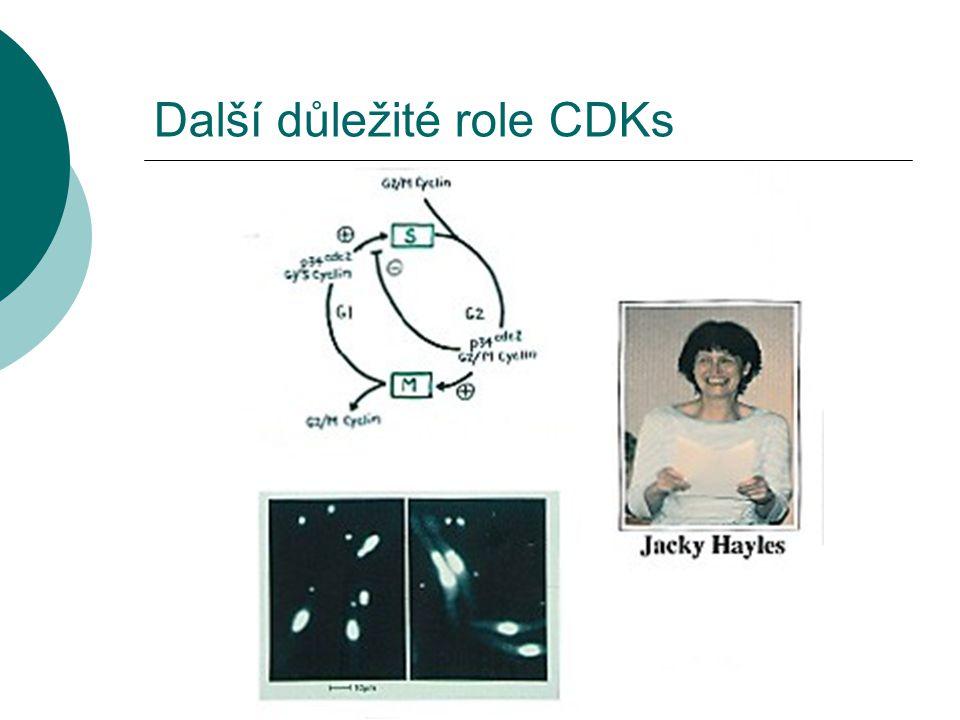 Další důležité role CDKs