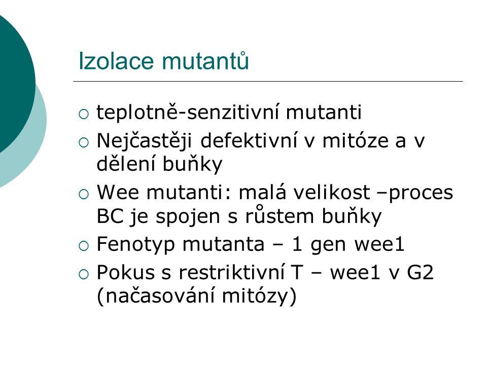 Izolace mutantů  teplotně-senzitivní mutanti  Nejčastěji defektivní v mitóze a v dělení buňky  Wee mutanti: malá velikost –proces BC je spojen s růstem buňky  Fenotyp mutanta – 1 gen wee1  Pokus s restriktivní T – wee1 v G2 (načasování mitózy)