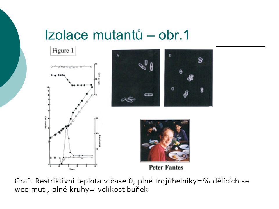 Izolace mutantů – obr.1 Graf: Restriktivní teplota v čase 0, plné trojúhelníky=% dělících se wee mut., plné kruhy= velikost buňek