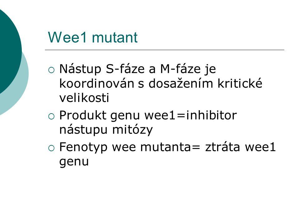 Wee1 mutant  Nástup S-fáze a M-fáze je koordinován s dosažením kritické velikosti  Produkt genu wee1=inhibitor nástupu mitózy  Fenotyp wee mutanta= ztráta wee1 genu
