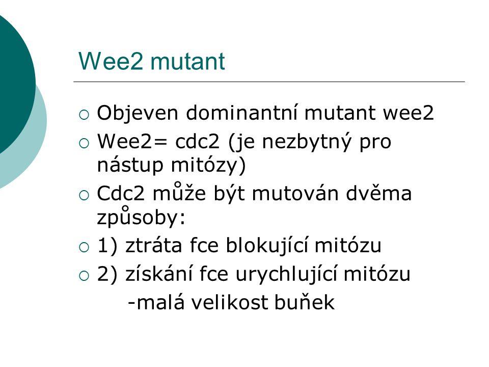 Wee2 mutant  Objeven dominantní mutant wee2  Wee2= cdc2 (je nezbytný pro nástup mitózy)  Cdc2 může být mutován dvěma způsoby:  1) ztráta fce blokující mitózu  2) získání fce urychlující mitózu -malá velikost buňek