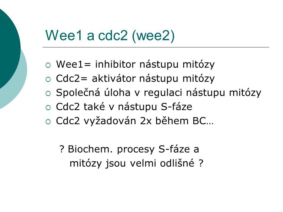 Wee1 a cdc2 (wee2)  Wee1= inhibitor nástupu mitózy  Cdc2= aktivátor nástupu mitózy  Společná úloha v regulaci nástupu mitózy  Cdc2 také v nástupu S-fáze  Cdc2 vyžadován 2x během BC… .