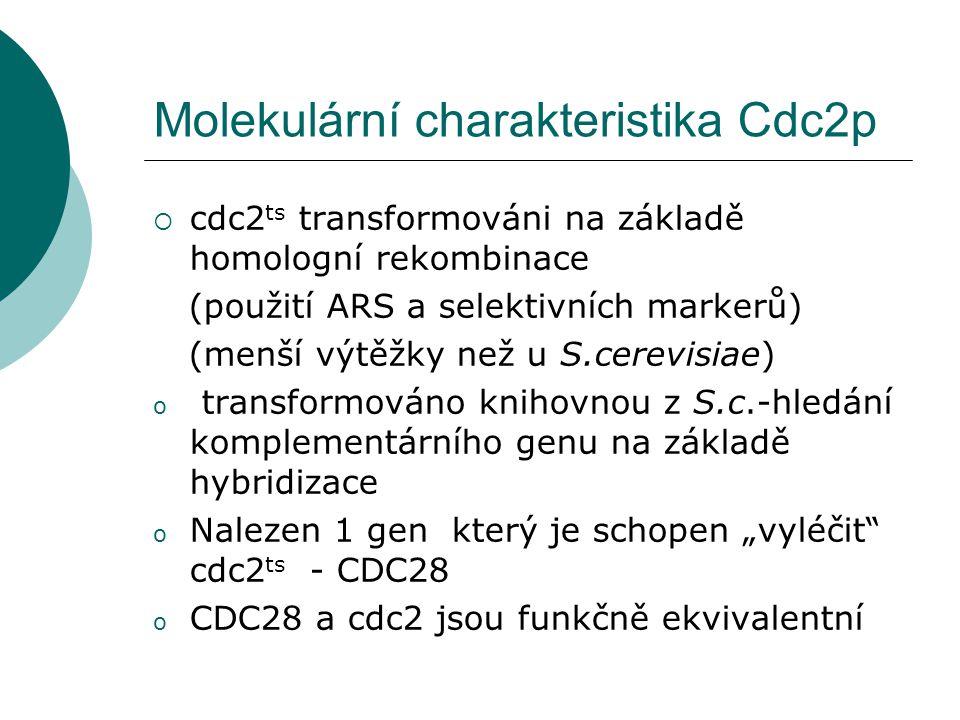 """Molekulární charakteristika Cdc2p  cdc2 ts transformováni na základě homologní rekombinace (použití ARS a selektivních markerů) (menší výtěžky než u S.cerevisiae) o transformováno knihovnou z S.c.-hledání komplementárního genu na základě hybridizace o Nalezen 1 gen který je schopen """"vyléčit cdc2 ts - CDC28 o CDC28 a cdc2 jsou funkčně ekvivalentní"""