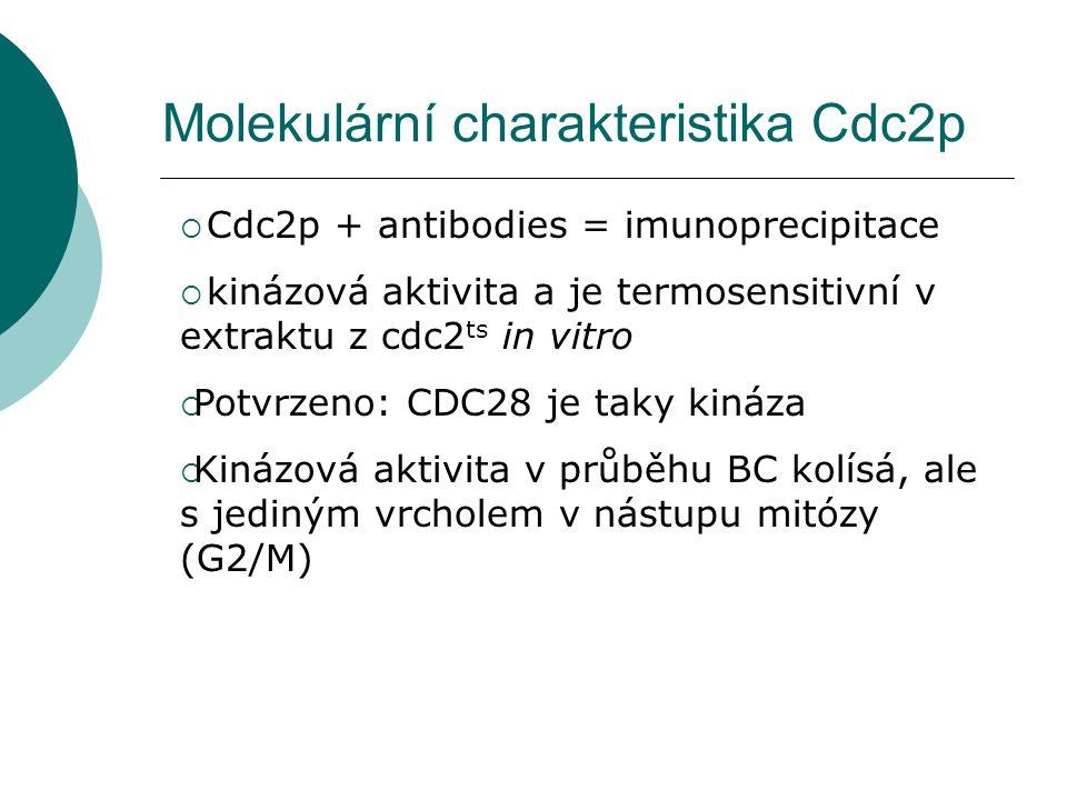 Molekulární charakteristika Cdc2p  Cdc2p + antibodies = imunoprecipitace  kinázová aktivita a je termosensitivní v extraktu z cdc2 ts in vitro  Potvrzeno: CDC28 je taky kináza  Kinázová aktivita v průběhu BC kolísá, ale s jediným vrcholem v nástupu mitózy (G2/M)