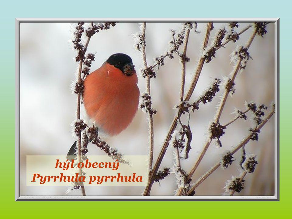 pěnkava obecná Fringilla coelebs